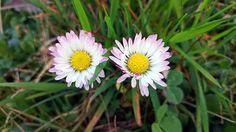 Pro někoho je to potvora, která mu kazí jeho anglický trávník. Přitom je sedmikráska chudobka tradiční léčivka, která se využívá i v homeopatii.