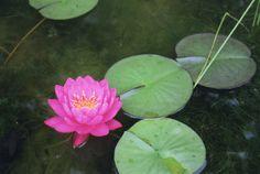 https://flic.kr/p/J4KHLa | Water lily | 부모도 반의사가 되어야 한다 www.koreapediatrics.com
