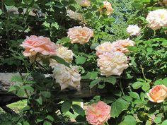 Rose 'Alchymist'