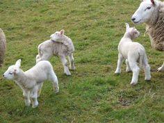 Newborn lambs in Crimsworth Dean, a beautiful valley near Elmet Farmhouse holiday cottage at Pecket Well above Hebden Bridge Hebden Bridge, Yorkshire Dales, Lambs, Dean, Farmhouse, Cottage, Country, Spring, Holiday