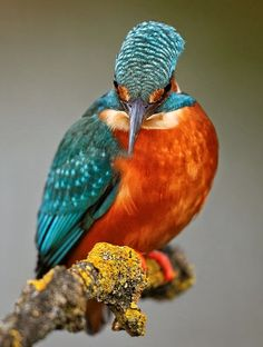 The common kingfisher (Alcedo atthis