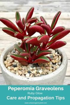 67 Types Of Succulents With Pictures Crassula Succulent, Peperomia Plant, Succulent Gardening, Garden Soil, Cacti And Succulents, Planting Succulents, Planting Flowers, Mini Plantas, Different Types Of Succulents