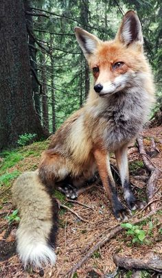 Red Fox by Bendeguz Fillinger - National Geographic Your Shot