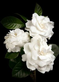 Gardenias... If I could, I'd fill my house with vases of them! #southern