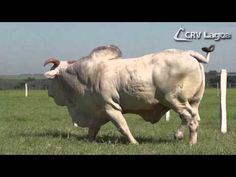 TOURO CRV LAGOA - RONDEL (Nelore) Abril 2014 - YouTube