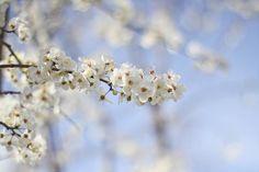 Cherry blossom in the {Jardin des Plantes}
