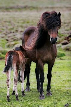 I love the Icelandic horse. This mare and here foal I found in my old hometown Mosfellsbær. Eythor Árnason