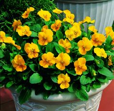 Viola cornuta Penny Yellow