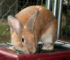5-10-16 SL**2/23/16 STILL THERE!! Meet Taffy & Flip, a Petfinder adoptable Palomino Rabbit | Gig Harbor, WA | Taffy came to us as a baby and grew up with the candy kids. She is a medium size rabbit that is...