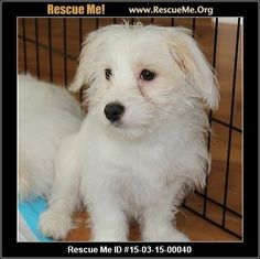 Mason (male)  Bichon Frise  Age: Young Puppy  Compatibility:Good with Most Dogs, Good with Kids and Adults Personality:Average Energy, Average Temperament Health:Needs to be Neutered, Vaccinations Current  Mason is a 3 month old bichon looking for his forever home!  Adoption Fee: $450Animal Location:  Recycled Paws Rescue, Inc.  PO Box 320  Westchester County Mohegan Lake , NY 10547