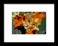 iris, orange, flower, bloom, blossom, nature, garden, michiale, schneider, photography