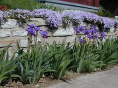 creeping flox great for planting on rock walls or boarders, have these on the slope garden, clearance! but they r doing well. love em with irises here! gotta get some blue irises!!