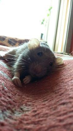 Cute, gray rat