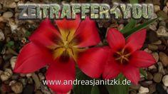 Tulpen Tulipa Tulips Blooming Timelapse Zeitraffer