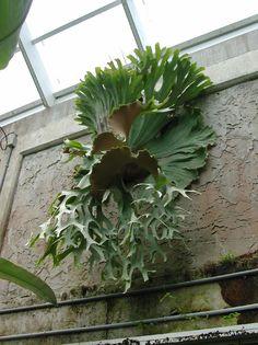 Polypodiaceae Platycerium superbum