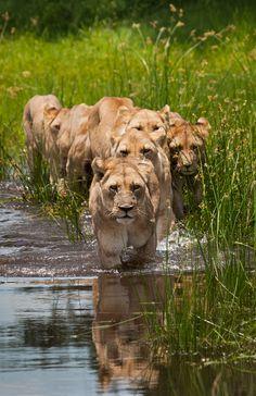 """On the Hunt"" by David Recht via 500px. ""The Tsaro Pride near Duba Plains, Botswana."""