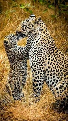 I love leopards.leopards and love nothin better is there? Nature Animals, Animals And Pets, Funny Animals, Cute Animals, Wild Animals, Animals With Their Babies, Mother And Baby Animals, Animals Kissing, Animals Images