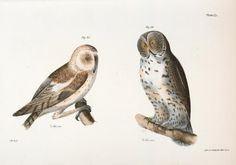 The American Barn Owl (Strix pratincola) The Great Gray Owl (Syrnium cinereum) illustration from Zoology of New york - by James Ellsworth De Kay Old Book Art, Vintage Bird Illustration, American Barn, Great Grey Owl, Gray Owl, John James Audubon, Owl Print, Art Clipart, Vintage Birds