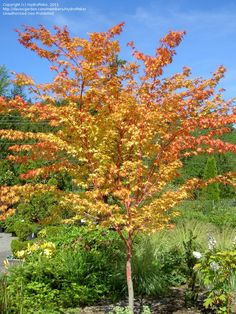 Coral Bark Maple.  Coral bark on young branches that intensify in the winter.  Golden leaves in the fall.  Moderate growth to 15-20'.