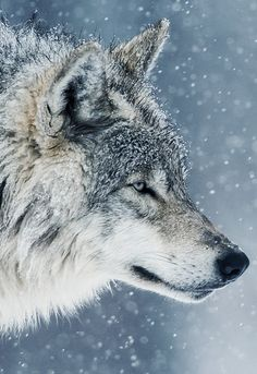 """johnnybravo20: """" Wolf in the Snow (by Maxime Riendeau)"""""""