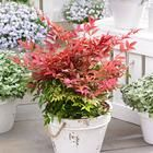 11,99 euros, nandina domestica, hardy shrub with changing colour over the seasons Types Of Soil, Types Of Plants, All Plants, Potted Plants, Red Shrubs, Evergreen Shrubs, Trees And Shrubs, Phyllostachys Nigra, Home Garden Plants