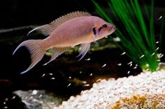 Welcome to Aquarium Pictures Blog: Fish Data : Fairy Cichlid Love breeding Lamprologus- the daffodils were especially nice