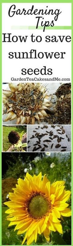 Sunflowers are such an easy flower to grow, they also make fun gardening with children. Saving your seeds each year can also help save you money, so if you are gardening on a budget be sure to save your sunflower seeds. Free flowers for years to come. Click the photo to visit my website for an easy guide, or pin for later.