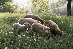 "earthlyenchantment: ""(via Pin by SageGardens on Country Life Lord Is My Shepherd, The Good Shepherd, Farm Animals, Animals And Pets, Cute Animals, Mourning Dove, Sheep And Lamb, Counting Sheep, Tier Fotos"