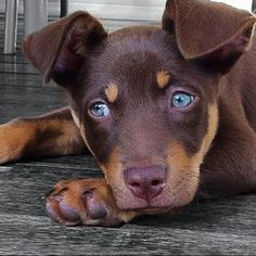 A cute Kelpie pup!! one day we will get one.