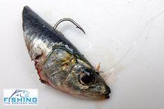 Sardine head bait | Fishing The Eastern Cape