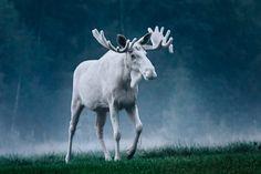 Cervidi/Alce(Alces Alces): albino (Rare white Moose photographed in Sweden! Majestic Animals, Rare Animals, Animals Beautiful, Animals And Pets, Beautiful Creatures, Moose Pictures, Animal Pictures, Moose Pics, Wild Life
