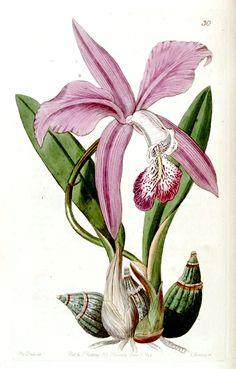 Iris / Lys pourpre