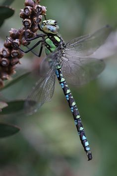 ˚Southern Hawker Dragonfly