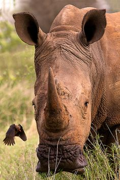 Docking station by Wild Dogger on Flickr.Red-billed oxpecker approaching White Rhino KNP, South Africa