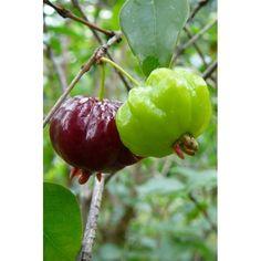 Martej jednokvětá - Pitanga (1)