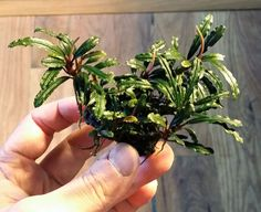 For Sale Now: Bucephalandra Icarus bell . Order Bucephalandra Icarus bell online at a discount today!