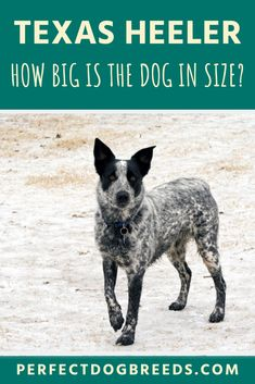 This dog is a medium sized breed, with the typical Texas Heeler size being between 17 and 22 inches tall. This means they are much lankier than their parent breeds. Read our guide for more details on the appearance of the Texas Heeler. Large Dog Breeds, Large Dogs, Medium Sized Dogs, Australian Shepherd, Border Collie, Cattle, Annie, Texas, Business