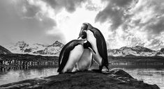 Penguins huddle together on a rock on South Georgia Island in this National Geographic Your Shot Photo of the Day. National Geographic Photo Contest, National Geographic Travel, Canon Eos, Photography Photos, Amazing Photography, Penguin Images, South Georgia Island, Nuclear Winter, Shot Photo