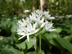 The fragrant Wild Garlic is out in bloom at Kedleston, Derbyshire.  Thanks again to Carl Hawke for this picture taken on 07 May 2014