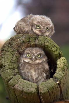Owl Babies. They look very grumpy lol