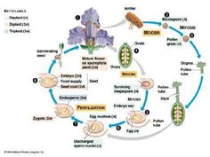 This pin shows the reproduction of a plant. It explains step by step how a new plant is produced.