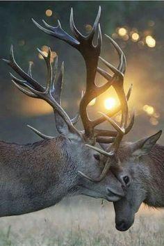 Red Deer Stag & Doe