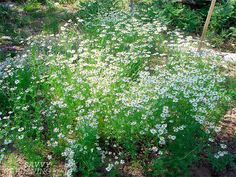 Chamomile is a promiscuous re-seeder in the garden, but is easily controlled by pulling or digging up unwanted plants. Share your extras wit...