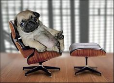 This cracks me up. I couldn't resist reposting this adorable pug puppy in his mini Eames Lounge.