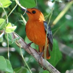 Red-capped Robin Chat in Saadani NP, Tanzania Bee Eater, Stork, Heron, Tanzania, Eagles, Robin, National Parks, Coast, Africa