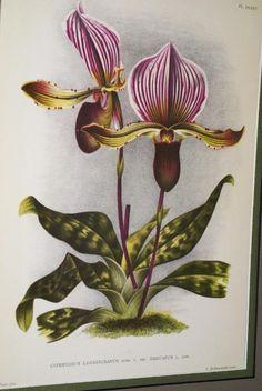 Lindenia Orchid Print Limited Edition Cypripedium Lawrenceanum Trieuanum Flor B4      $15.31