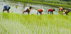 2016-09-10 RICE PADDIES RAISE METHANE THREAT. Traditional growing of rice in flooded fields is bad for the staple crop's quality and produces vast amounts of methane greenhouse gas.