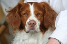 American Brittany Spaniel .. I had a dog that looked a lot like this