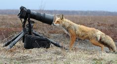 Cosmo, is investigating the smell that Mr. Evildoer left on my photo-gear ~  by Igor Shpilenok