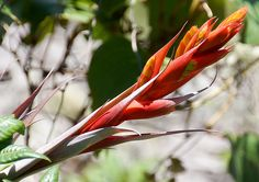 Photos of Colombia Flowers, Bromeliad